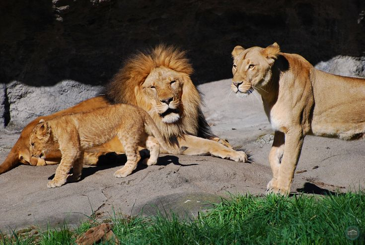 The lion pride! Dad, mom, and baby at Woodland Park Zoo in Seattle.