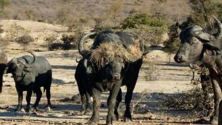 Buffalo Bulls at Moholoholo M ountain View