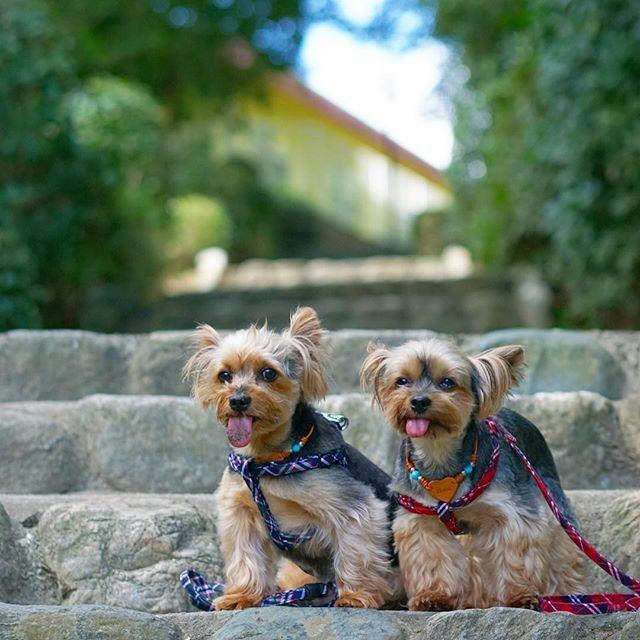 ・ ドコモのアプリのデータコピーで前のスマホの写真を移行しようと何度もやってるけど、途中で失敗でなかなか移行できにゃい😢 ・ ・ #ヨークシャテリア #ヨーキー #yorkshireterrier #yorkie #dog #dogs #ilovedog #犬 #愛犬 #ワンコ #わんこ#yorkiesofpetstagram #dogstagram #ilovedogs #instagood #all_dog_japan #todayswanko #east_dog_japan #yorkielove #yorkiegram #yorkies #doglover #yorkiesofinstagram #dogsofinstagram #9vaga_catsdogs9 #special_alive_ #カメラ女子  #カメラ撮る人と繋がりたい