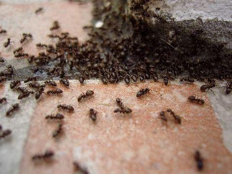 les 25 meilleures id es de la cat gorie fourmis sur pinterest fourmi bogues et insectes. Black Bedroom Furniture Sets. Home Design Ideas