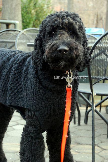 canined groomed black standard poodle dog central park nyc 31409 9 | Flickr - Photo Sharing!