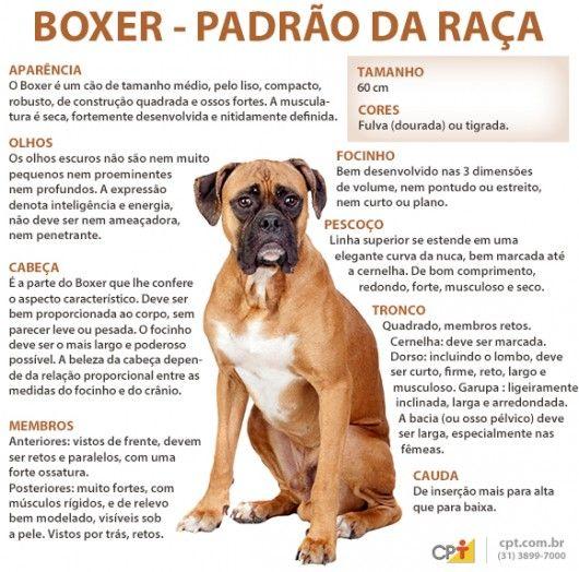 Padrão da raça Boxer