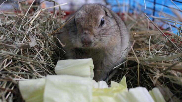 Il dorso è di colore marrone grigio; il ventre è giallo, mentre mento e gola sono bianchi. Le orecchie sono piccole e la coda è corta, ricoperta di peli.