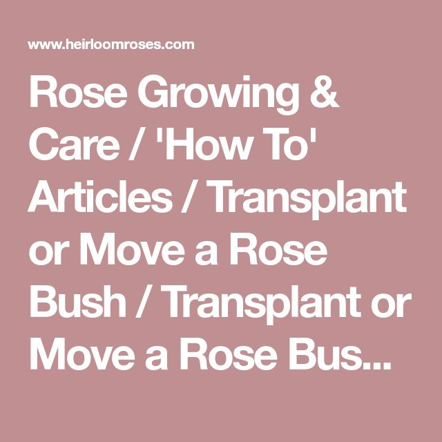 Rose Growing & Care / 'How To' Articles / Transplant or Move a Rose Bush / Transplant or Move a Rose Bush / Heirloom Roses - Heirloom Roses
