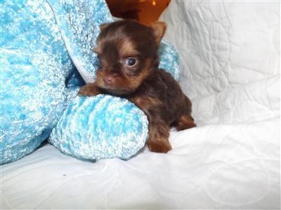 $500 HAMMOND AKC Yorkie (mom) AKC Red toy poodle (dad ...