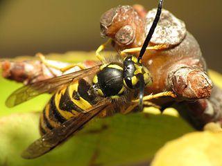 Guêpe sociale:  celles de la famille des Vespidae, qu'il faut davantage craindre. Elles sont d'assez bonne taille (les frelons, une sous-catégorie de guêpe sociale, sont encore plus gros) et la plupart des espèces sont justement noires striées de jaune ou de blanc.  Ce sont les guêpes sociales qui tendent à être agressives. Elles piquent si on approche leur nid et aussi quand on essaie de la chasser de notre nourriture ou de notre corps.