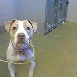 Sacramento, California - Pit Bull Terrier  Meet