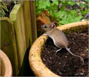 Poisoned Bait    Dry cement powder  Cornflour        Directions: Mix 50/50 and place in a shallow dish or bait station in the path used by rodents (can be used for inside rodent control). After feeding the mouse will seek water outside which causes the cement powder to react, quickly killing the rodent. Source: Rats & Mice Rodent Control.