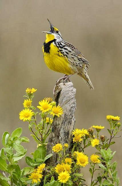 ☑️ Nebraska Meadowlark / O sing unto the Lord a new song; sing unto the Lord, all the earth. Psalms 96:1                                                                                                                                                                                 More