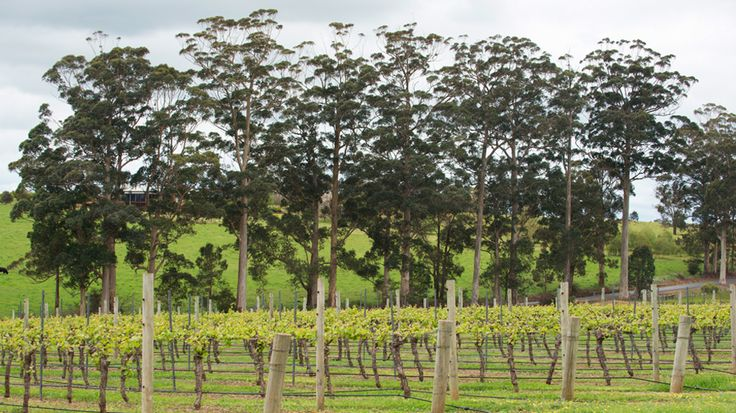 Vineyard and trees in the Manjimup wine region