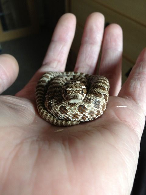 I really dont have anything to add about this snake that I havent said below a million times This is a regular sized Western Diamondback Rattlesnake