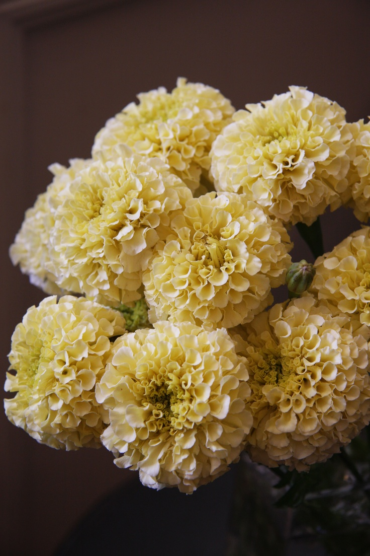 The Marigold Tarot Major Arcana The: 1000+ Images About Marigolds On Pinterest