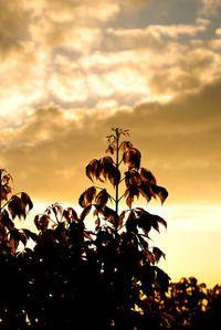 golden leafs 1