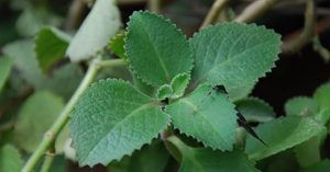 15 plantas e ervas que podem impulsionar a saúde pulmonar, curar infecções respiratórias e mesmo reparar danos pulmonares
