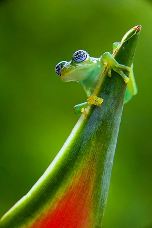 Ghost glass frog (Centrolene ilex), Costa Rica