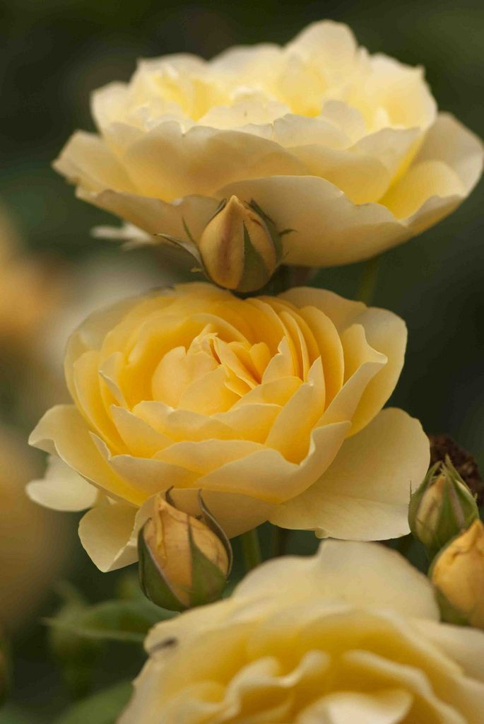 'Graham Thomas' | Shrub. English Rose Collection. David C. H. Austin, 1983 | Flickr - © Ivo M. Vermeulen