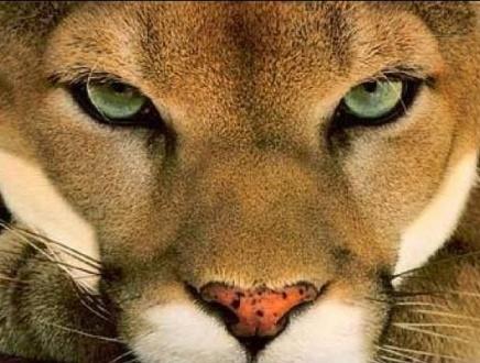 Puma / kuguar