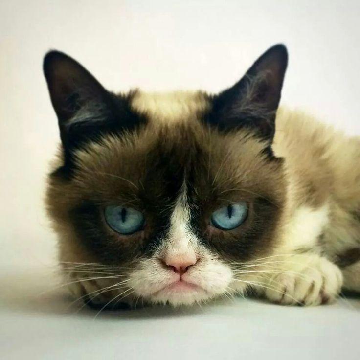133 best images about grumpy cat  on pinterest