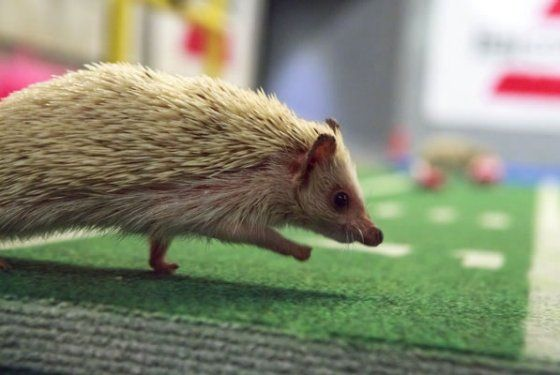 The Puppy Bowl Now Includes Hedgehogs as cheerleaders