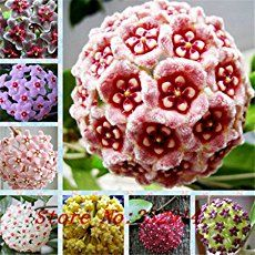 "Hoya Plant known as ""Hindu rope plant"" or ""wax plant"", Hoya plants have been enjoyed for decades, as an easy going houseplant [LEARN MORE]"