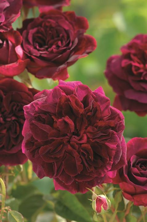 David Austin rose - Munstead Wood. Munstead Wood was the name of Gertrude Jekyll's home.