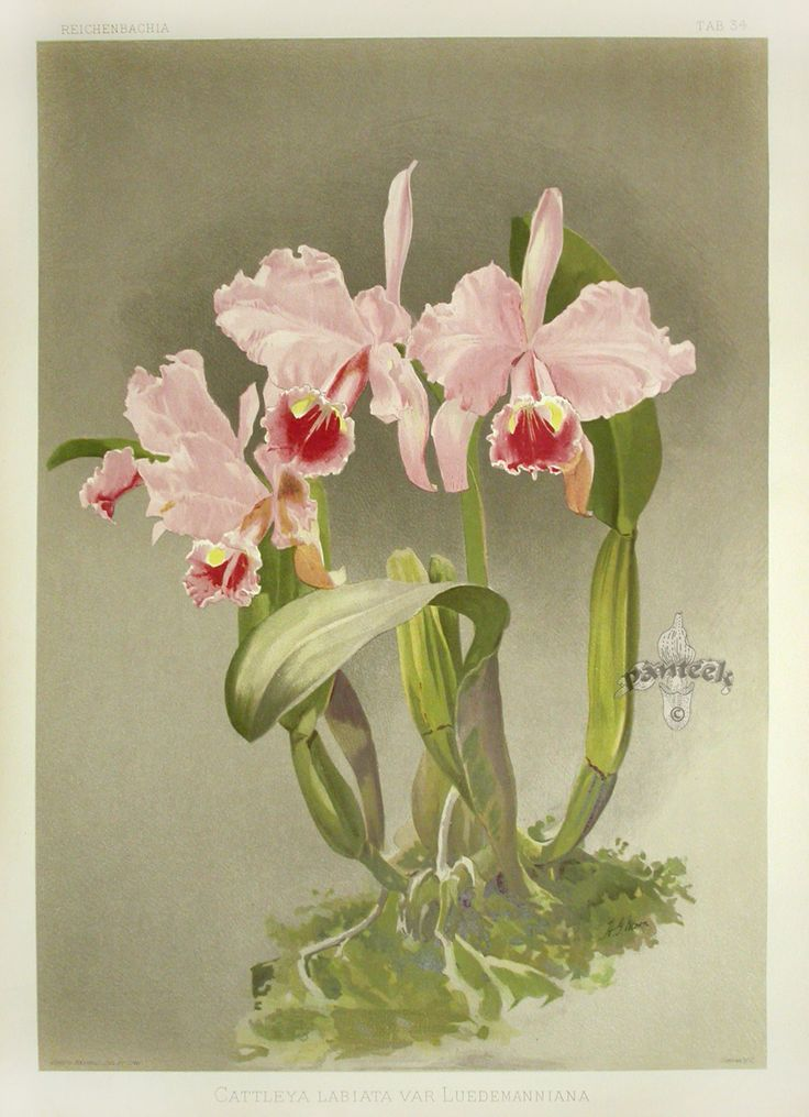 Reichenbachia Orchid Prints 1888-1894