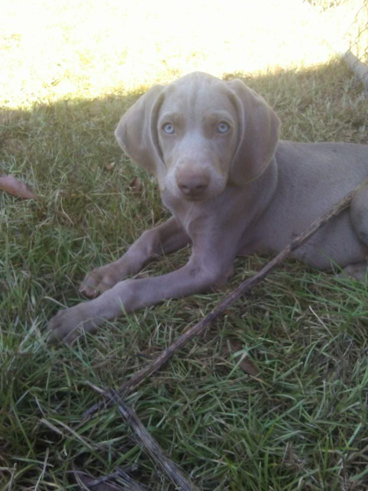 silver lab puppies for sale michigan