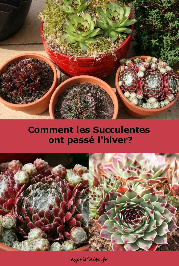 Comment Les Succulentes Ont Elles Passe L Hiver Sempervivum