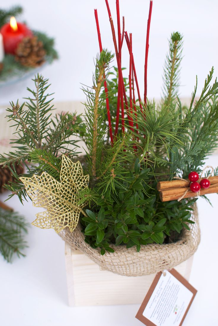 Christmas table arrangement with evergreen plants #conifers #pottedplants #christmaspot #christmasdecoration #christmasplants #christmastree #christmastabletree #christmasdecor #christmasornaments #christmasnaturalgifts