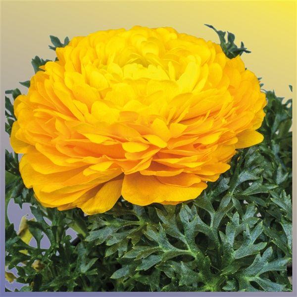 Ranunculus geel met hoes