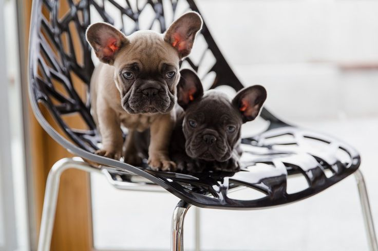 You can have the chairs but not the puppies...we are keeping Romeo & Valentina! https://www.urbanmod.net/collections/dining-chairs/products/birch-sapling-chair-black-set-of-four #midcenturymodern #FrenchBulldogs