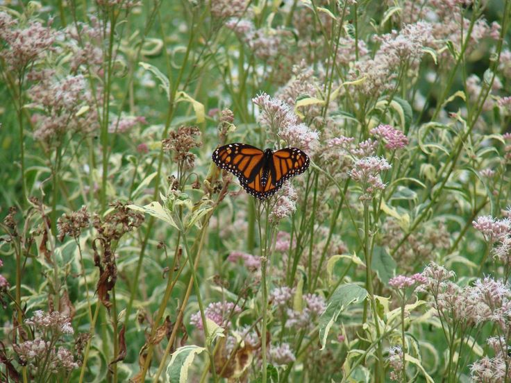 Another Resource For Ohio Gardeners Includes The Prairie Plant Research U0026  Monarch Butterfly Waystation At Chadwick