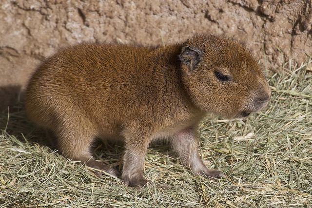 Baby capybara at the Zoo.