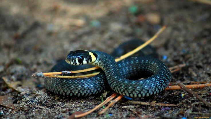 hd serpent ile ilgili görsel sonucu