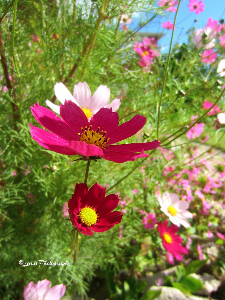 COLORFUL COSMOS FLOWERS 🌸💖🌸