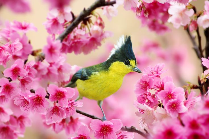 Photo Formosan Yellow Tit and Cherry Blossoms by Sue Hsu on 500px