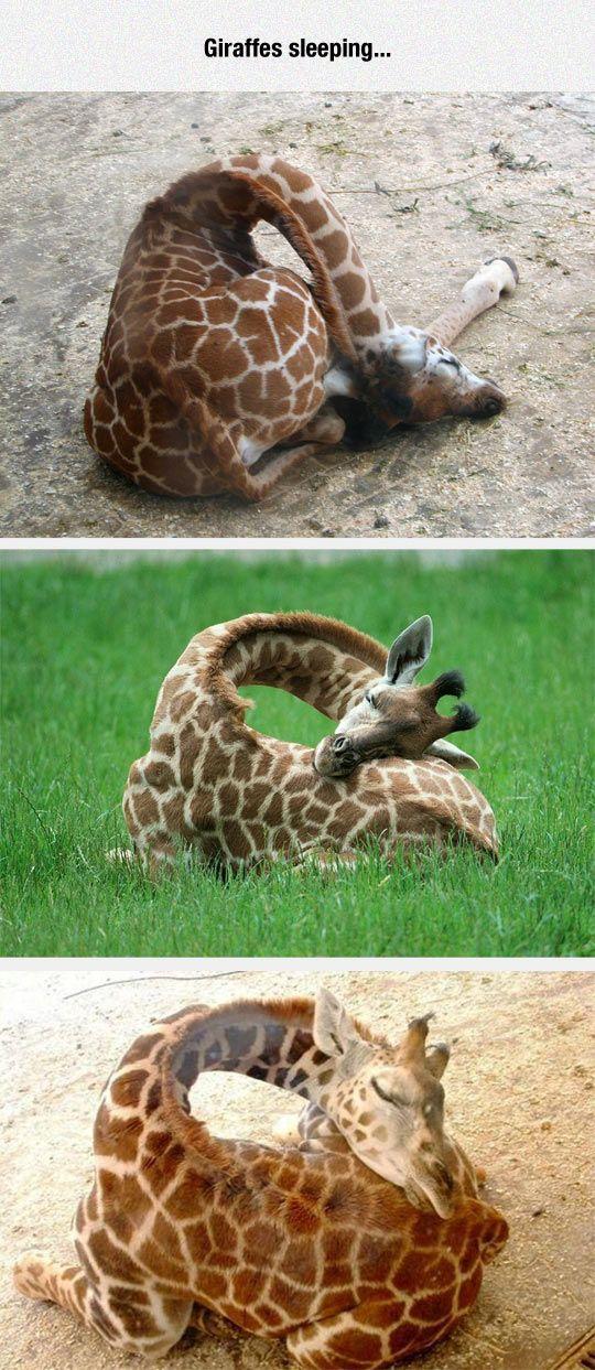 Especialistas señalan que las jirafas adultas duermen entre una o dos horas diarias, en lapsos aproximadamente de 7 minutos durante la noche. Estos animales, a diferencia de otros, lo hacen de pie, puesto que la altura es su principal defensa contra los depredadores