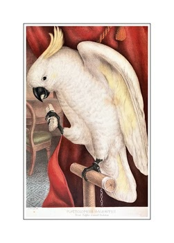James Whitley Sayer-Great Sulphur Crested Cockatoo-Plyctolophus galeritus