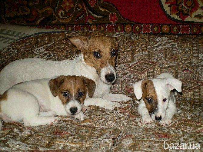 Продам породистых щенков Джек Рассел терьера, родились щеночки 17. 12. 2015г. Щенки жизнерадостные, энергичные, с крепким костяком, великолепный...
