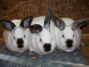 california rabbits