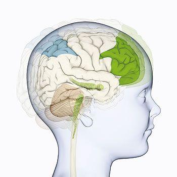 Los niños pequeños autistas tienden a presentar cerebros grandes para su edad. Así, los investigadores han encontrado una relación entre el grado de crecimiento excesivo y la gravedad de los síntomas de autismo.