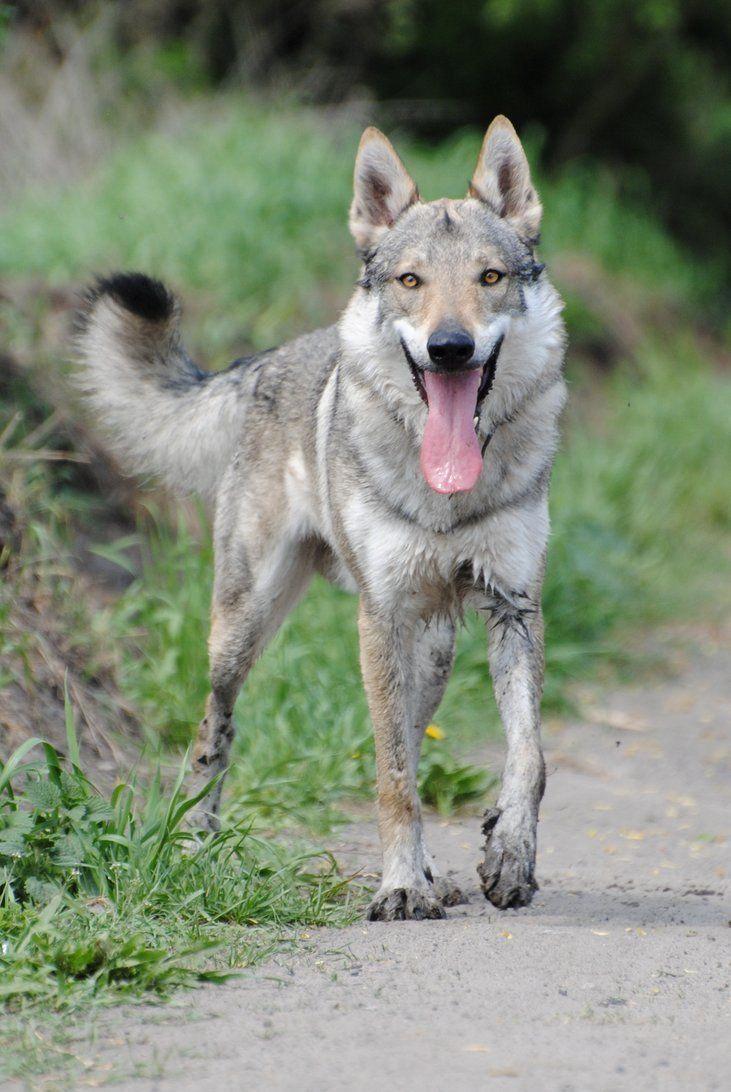 Chien-loup De Saarloos : chien-loup, saarloos, CanDogsEatTomatoes, Tamaskan, Breeds