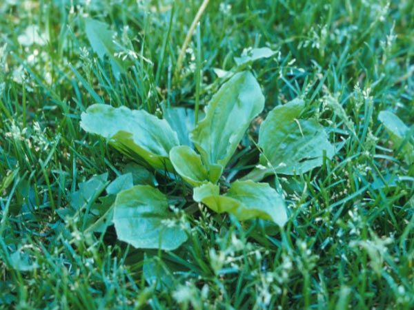 17 Best Images About Weeds And Invasive Plants On 640 x 480