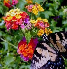 i love flowering lantana bushes...i have one in my front flower bed...now i want them all over my backyardGardens Ideas, Butterflies Gardens, Plants, Lantana, Butterflies Bush, Flower Beds, Front Porches, Bright Colors, Backyards