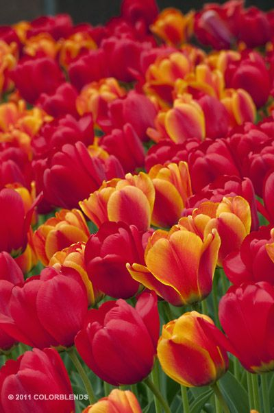 Colorblends Tulips...you can custom order your color ...