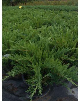 Juniperus sabina 'Tamariscifolia' - Terülő nehézszagú boróka