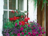 Old fashioned flowers, such as petunias, begonias and lobelia, are a vibrant clash of color in this traditional garden window box.