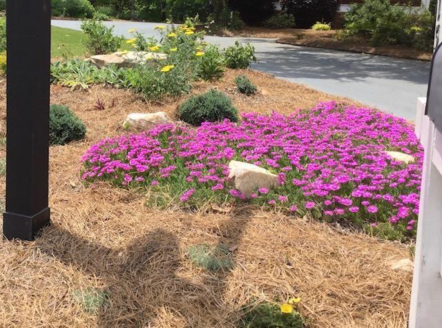 Ice Plant, Purple (Delosperma cooperi)