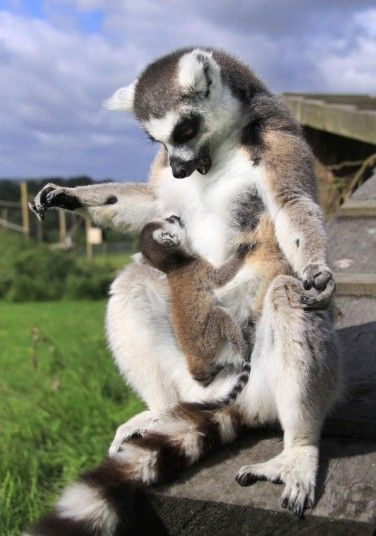 A ring tailed lemur looks at her baby called Casper at Longleat safari park