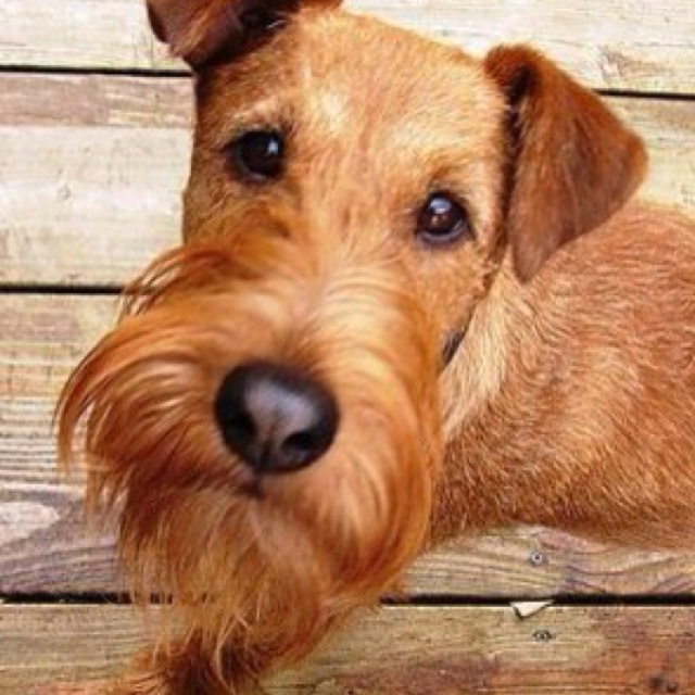irish terrier- learing a lot about this breed. Such fun quirky dogs!